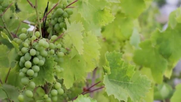 grapes vines plants leaf