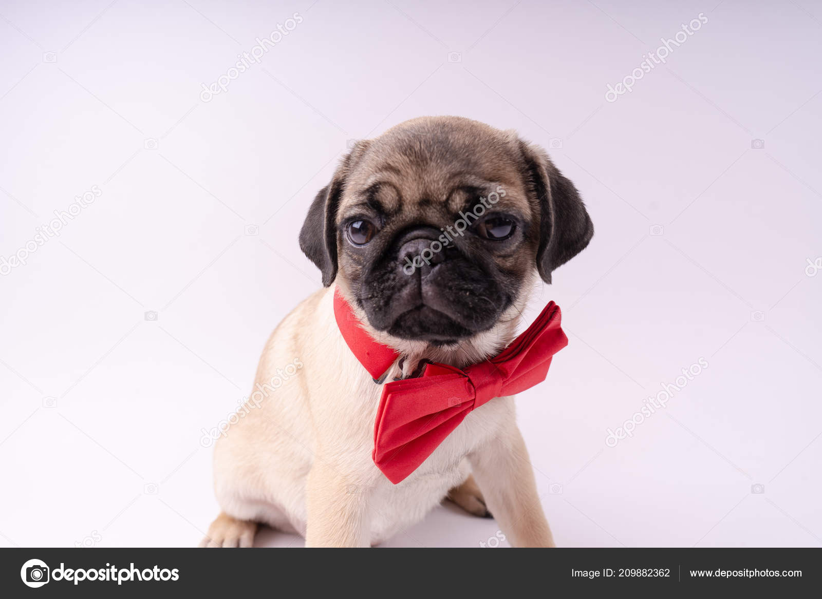 Funny Pug Puppy White Background Empty Space Text Pug Resting Stock Photo C Epidemiks 209882362