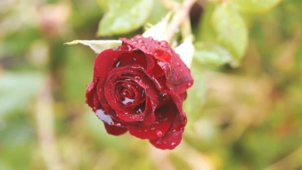 Krásná červená růže roste v zelené zahradě