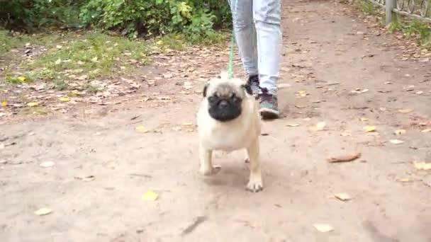 Mops procházky v parku. Šťastné štěňátko odpočívá. Pes, užívat si přírody