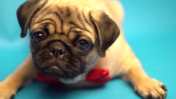 Funny Pug Puppy Blue Background Pug Resting Happy Dog Concept