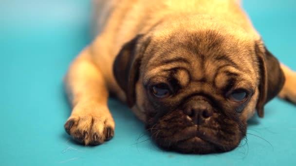 Vicces mopsz kiskutya a kék háttér. A mopsz pihen. Boldog kutya fogalma