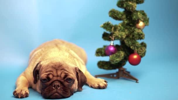 Vtipné pugpug štěně sedící vedle vánoční stromeček. Vánoce a nový rok koncept. štěně na modrém pozadí. Mops je odpočívá. Šťastný pes koncept