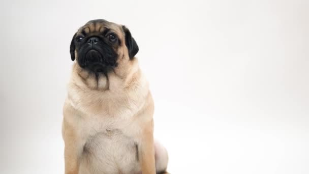 Funny Pug Puppy on white background.portrait of a cute pug dog with big sad eyes and a questioning look on a white background, Beige pug with huge eyes on a white background