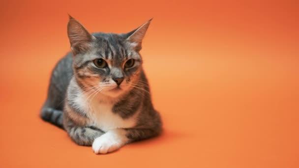 graue Katze auf orangefarbenem Hintergrund