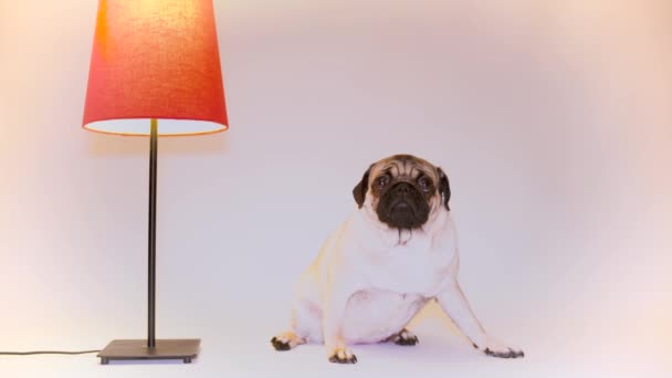 Funny Pug Puppy. Portrait of a cute pug dog with big sad eyes and a questioning look on a white background, Beige pug with huge eyes