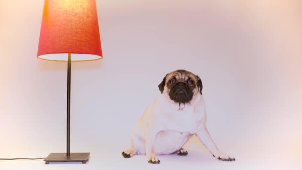 Vicces mopsz kiskutya. Portréja egy aranyos mopszli kutya, nagy szomorú szemekkel, és a kihallgatás néz egy fehér háttér, bézs mopsz, hatalmas szemekkel