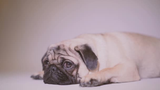 Legrační Mops štěně. Portrét a roztomilý pug psa s velké smutné oči a tázavý pohled na bílém pozadí, béžová Mops s obrovskýma očima