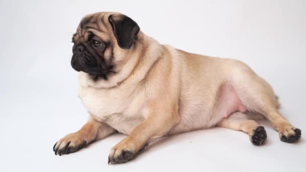 Pug, dog on white background. Cute friendly fat chubby pug puppy. Pets, dog lovers, isolated on white.