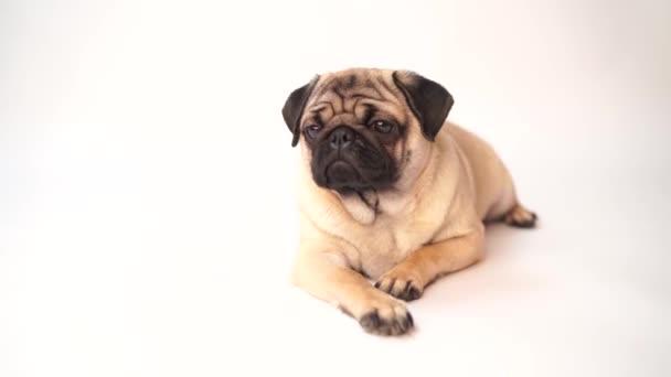 Mopsz kutya fehér háttér. Aranyos barát fat chubby mopsz kiskutya. Háziállatok, kutya szerelmesek, elszigetelt fehér