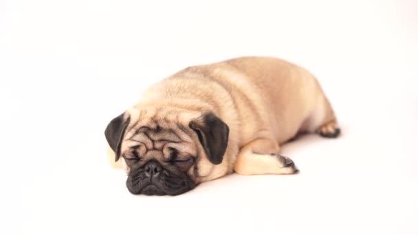 Mops pes na bílém pozadí. Roztomilý přátelský fat chubby Mops štěně. Domácí zvířata, milovníky psů, izolované na bílém.
