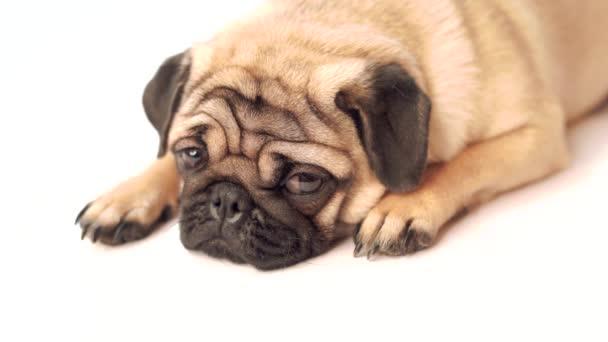 Mopsz kutya fehér háttér. Aranyos barát fat chubby mopsz kiskutya. Háziállatok, kutya szerelmesek, elszigetelt fehér.