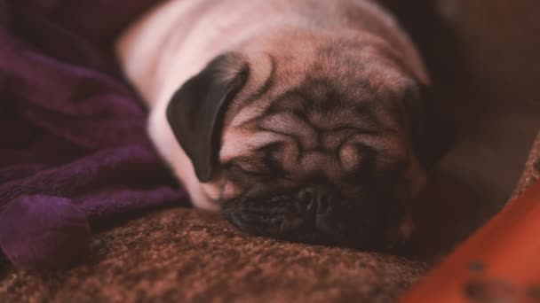 Funny pug, puppy resting on a chair. Portrait of cute pug dog with big sad eyes and cute face, beige Spitz with huge eyes