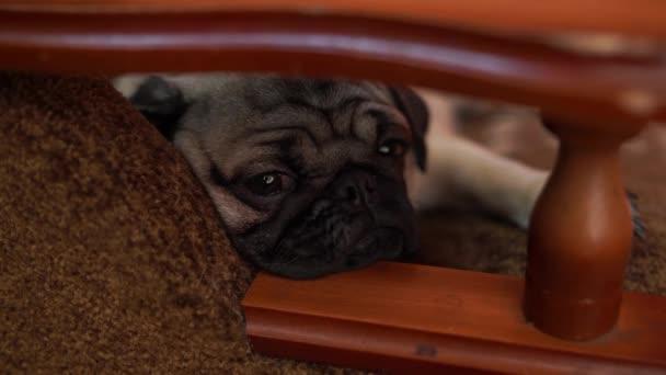 Vicces mopsz kiskutya pihen egy székre. Aranyos mopszli kutya nagy szomorú szemekkel és aranyos arca, bézs Spitz, hatalmas szemekkel portréja