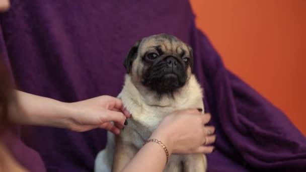 Legrační Mops štěně položenou na židli. Portrét roztomilý mopslík být v patách s velké smutné oči a roztomilý obličej, tělové Spitz s obrovskýma očima