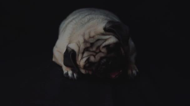 portrait of a pug dog on black background