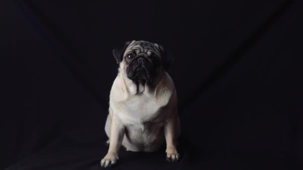 portréja egy Mopszli kutya fekete háttér