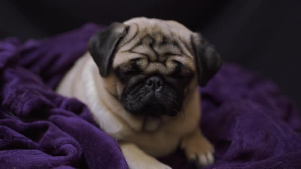 Vicces portré mopsz az emberi ágyban. Szegény szomorú beteg, unatkozó kutya koncepció.