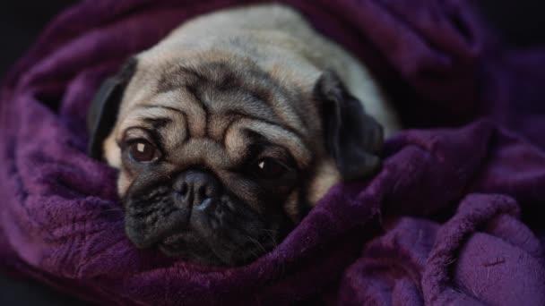 Közelről arcát aranyos mopsz kutyafajta fekvő