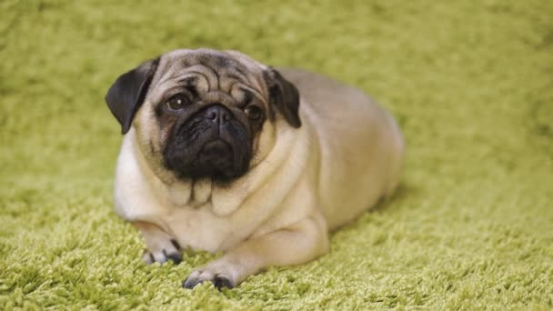 Kutya tenyészt mopszli nyugszik a szőnyegen, utánozva a fű. Vicces kutya portréja