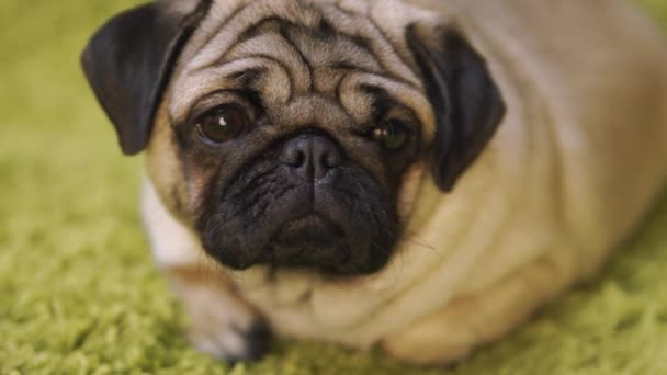 Puppy breed pug resting on the carpet, imitating the grass. Portrait of funny dog