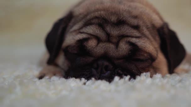 Kutya tenyészt mopszli nyugszik egy fehér szőnyeg. Aranyos kiskutya közelről