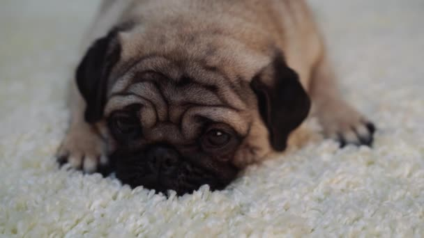 Dog breed pug resting on a white carpet. Cute puppy close up