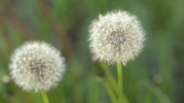 Kvetouční Pampeliška v přírodě roste ze zelené trávy. Stará se o pamllion. Přírodní pozadí dandeliů v trávě. Zelené přírodní pozadí. Přírody. Zavřít pozadí semena Pampeliška.