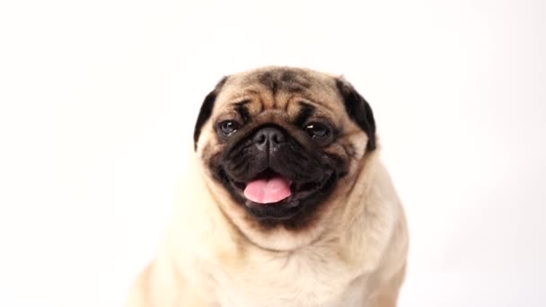 Dog, pug sitting and panting, 1 year old, isolated on white background