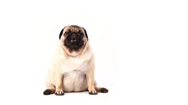 Lustiger Mops-Welpe, auf weißem Hintergrund. Hund zeigt Sprache
