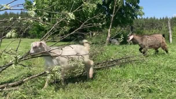 Malé kozy pasoucí se na zelené louce. Zvířata jedí zelenou trávu venku.