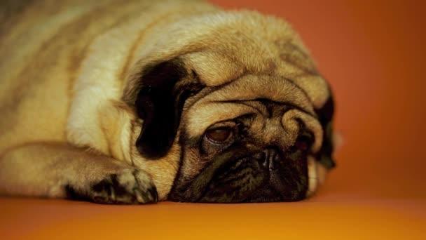 Vicces mopsz ül otthon a kanapén. Aranyos kutya pihen a kanapén