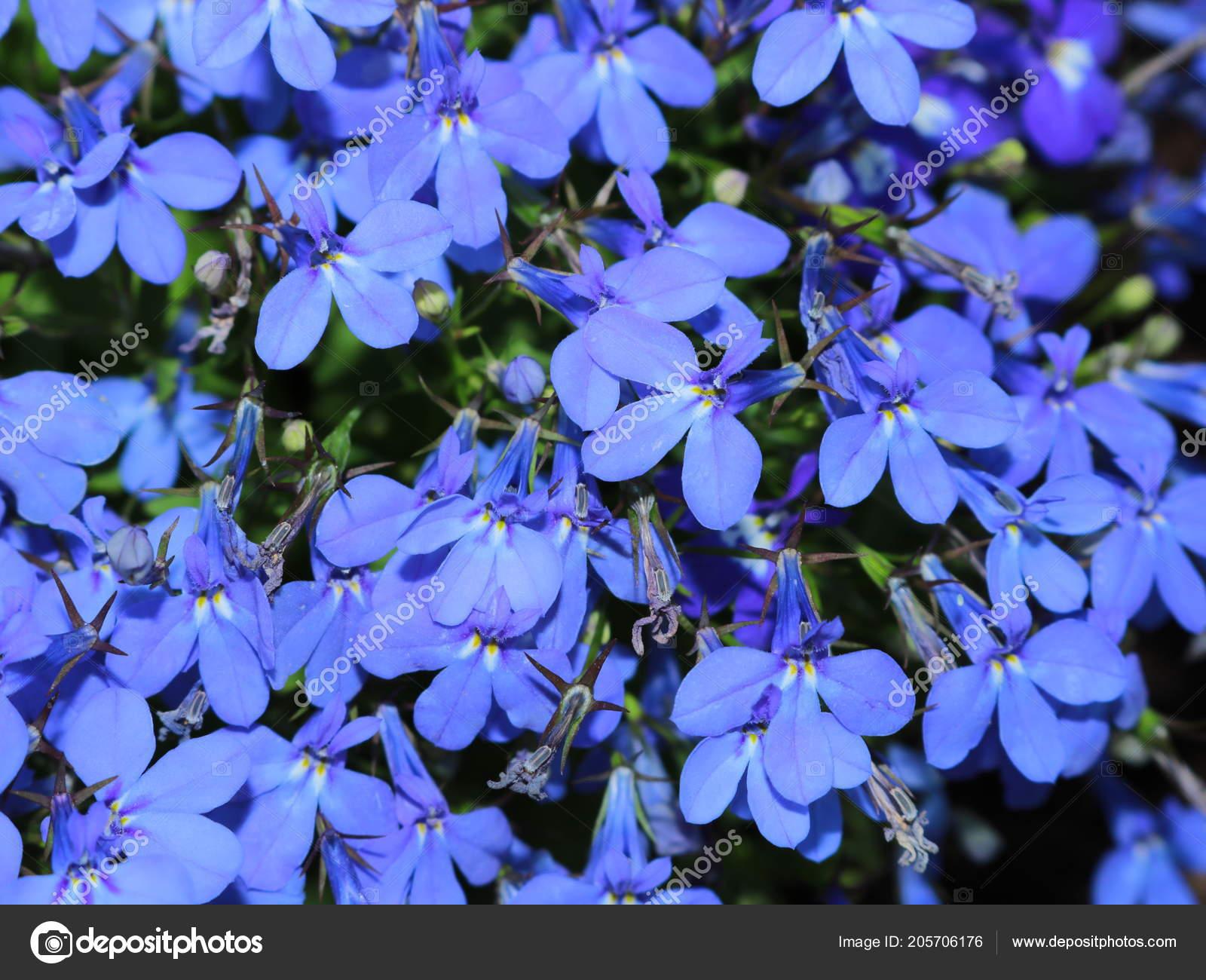 Pictures Small Blue Flowers Small Blue Flowers Flower Garden Stock Photo C Lomovtsova 205706176