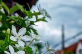 Fényképek A fehér virágok, vagy a Wrightia antidysenterica R.Br