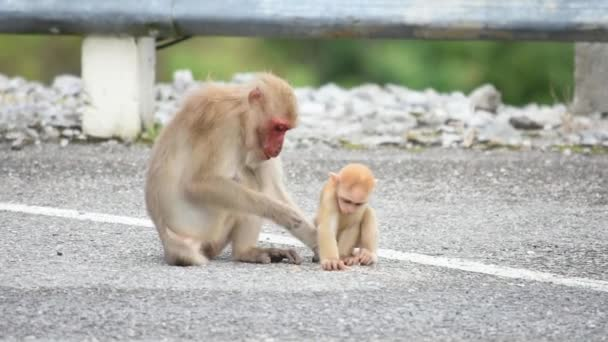 Mother and baby macaque monkey eating food that falls on the ground.