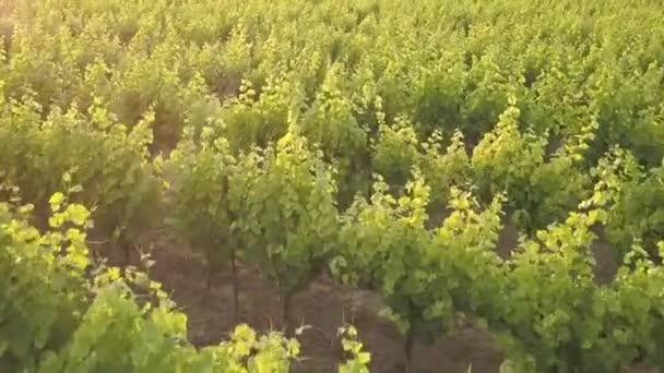 Letecká slunce záběry z vinice v Provence na jihu Francie znázorňující vinnou révou řádky