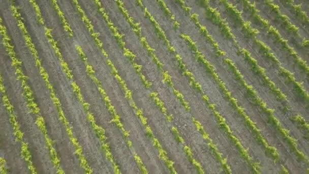 Letecká slunce záběry z vinice v Provence na jihu Francie znázorňující vinnou révou, stromy a vedlejší silnice od Dji Mavic Pro DRONY.