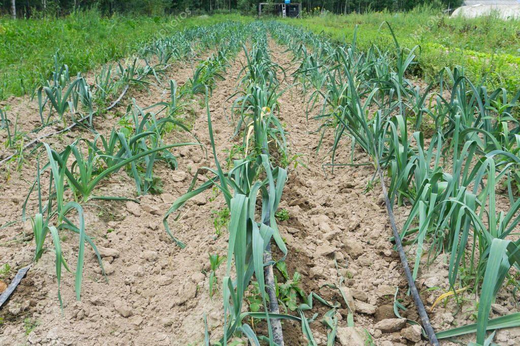 Field with rows of cultivated young leek plants. The farmer grows the leek plants on contract for agriculture businesses.