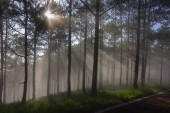 Background pine forest with fog and sun rays at the dawn, sunrise