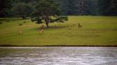 Divocí koně a ponys žijí v luční stepi, v jezeře Suoivang, provincie Lam Dong, Vietnam. Ještě plnokrevný, divoké koně, kteří žijí na plošině 1500m. To je divočina, život a zvyky divokých koní