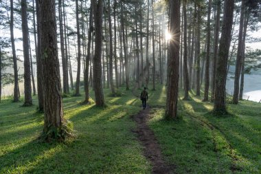 A lonely man discover in the pine forest with magic of the sunlight, sunrays, green grass at the sunrise. Best of landscape picture use for advertising, tourist, travel, design and more