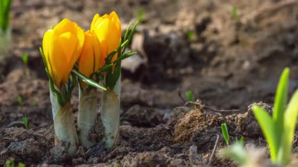 first yellow crocus flowers, spring saffron