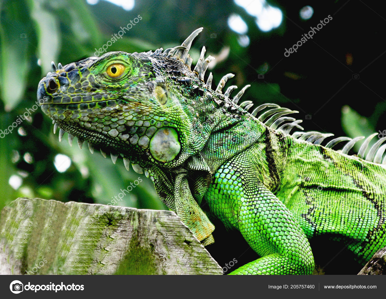 Florida Young Green Iguana Walking Wooden Fence Yellowish