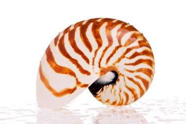 Nautilus seashell isolated on white background