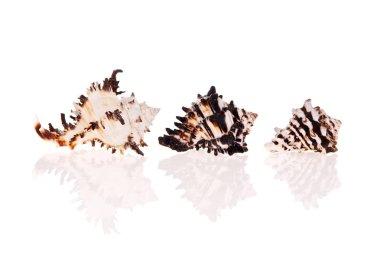 Murex Seashells isolated on white background