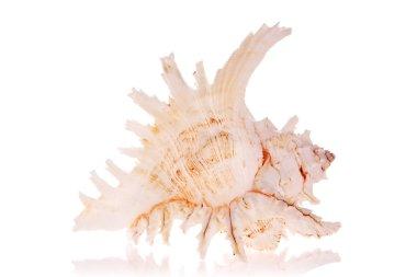 Murex Seashell isolated on white background