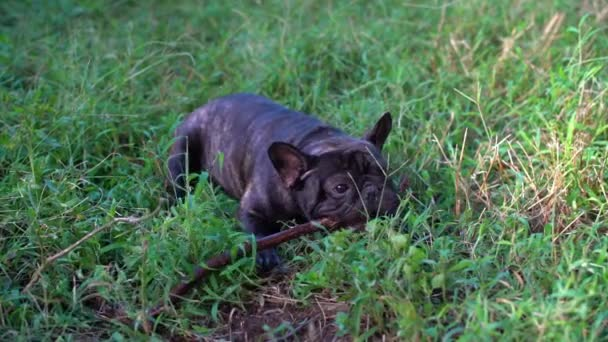 Francia bulldog játszathatnak