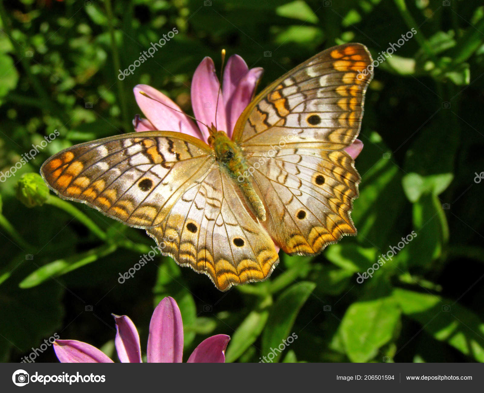 A White Peacock Butterfly On A Pink Flower In The Desert Botanical Garden  In Phoenix, Arizona.u2013 Stock Image