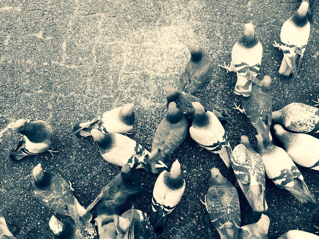 Pigeons feeding on the ground feeding over on top of city paving stones.