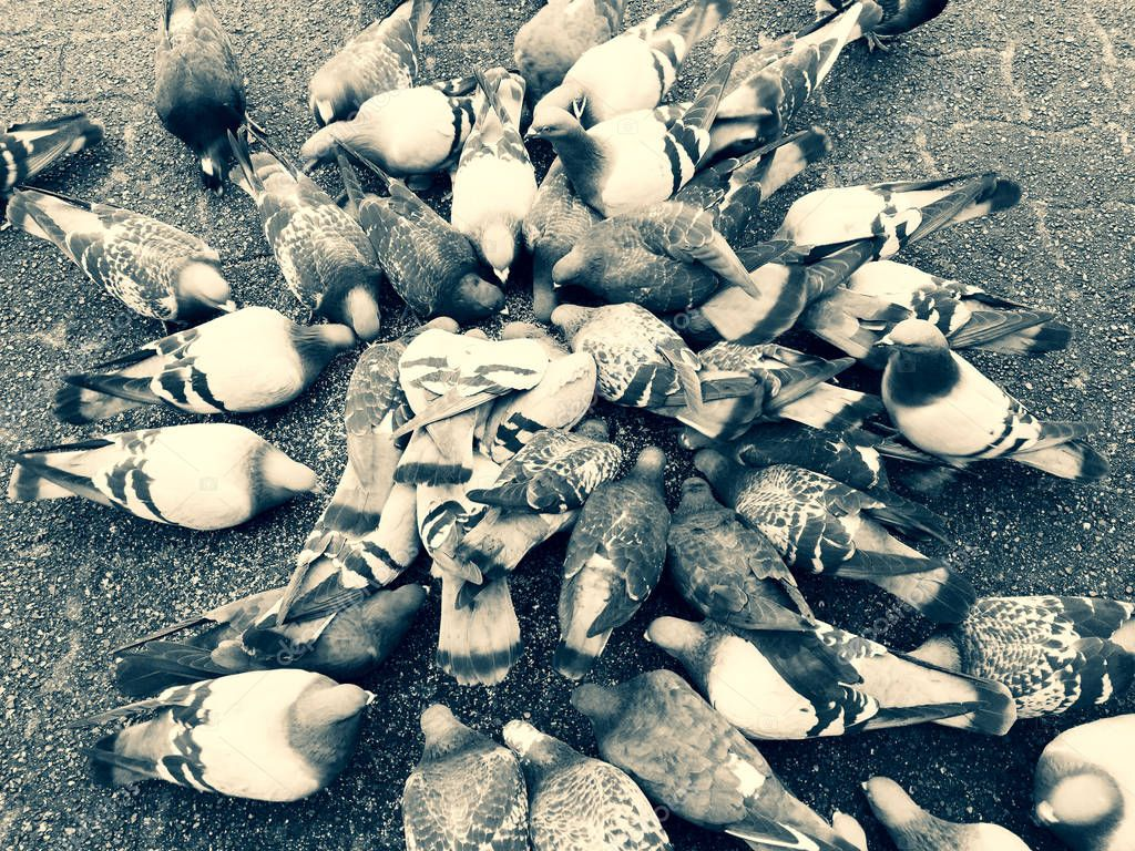 Pigeon feeding frenzy while eating birdseed on gray paving stone